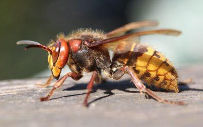 Les Hyménoptères