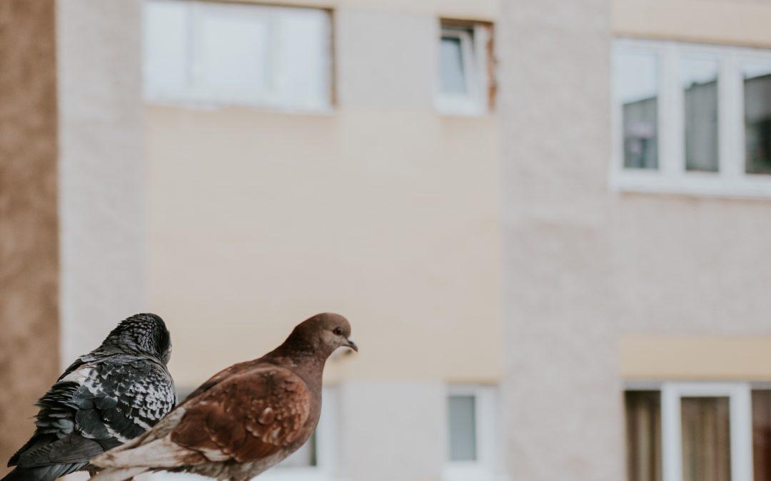 DEVELOPPEMENT DES ESPECES VOLATILES EN VILLE – LES PIGEONS